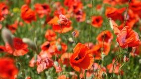 Beautiful red poppy flowers stock video
