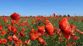 Beautiful red poppy flowers stock footage