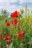 Beautiful red poppy flowers in rapeseed on meadow Stock Image