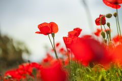 Beautiful red poppy flowers Royalty Free Stock Photo