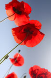 Beautiful red poppy flowers in summer Royalty Free Stock Image