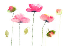 Beautiful red poppy flowers on white Stock Image