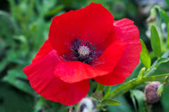 Beautiful red poppy on a green meadow. Royalty Free Stock Photos