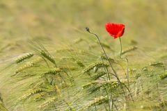 Beautiful red poppy in a green wheat field in the summer Royalty Free Stock Image