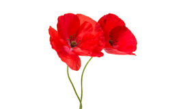Beautiful red poppy isolated Stock Photography