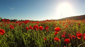 Beautiful red poppy petals on a large field stock video footage