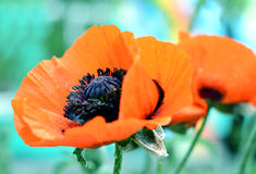 Beautiful red poppy, symbol of commemorate military personnel who have died in war. Also simbol of sleeping and death. Beautiful red poppy, close-up photo of Stock Image