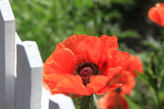 Beautiful red poppy at white painted picket fence Royalty Free Stock Photos