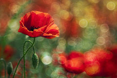 Beautiful red poppy Stock Photography