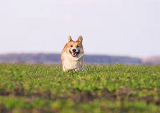 Red puppy dog Corgi running fast on green grass on spring meadow with a green young grass funny opening his mouth in a. Beautiful red puppy dog Corgi running stock image