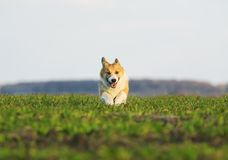 Beautiful red puppy dog Corgi running fast on green grass on spring meadow with a green young grass funny opening your mouth. Puppy dog Corgi running fast on royalty free stock images