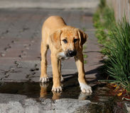 Beautiful red puppy royalty free stock photography