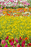 Beautiful red, purple, pretty, plant, pink,Yellow, white, flower Royalty Free Stock Photo