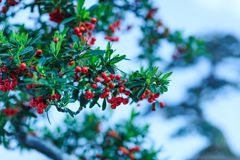 Beautiful red pyracantha coccinea in the garden. Red seeds of py. Racantha coccinea or firethorn in autumn. Great picture of the beautiful autumn pyracantha royalty free stock image