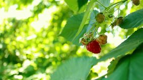 Beautiful red raspberry berries and green leaves. Blinking bokeh from the wind blows. Beautiful sunny day in the forest.  stock footage