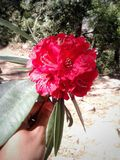 Beautiful red rhododendron flower in hand royalty free stock image