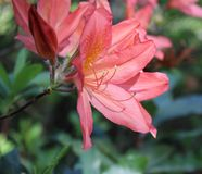 Rhododendron in a garden Stock Image