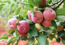 Beautiful red-ripe apples. Royalty Free Stock Photo