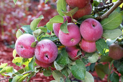 Beautiful red-ripe apples. stock photos