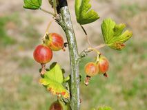 Red gooseberry on bush branches in garden, Lithuania Royalty Free Stock Photo
