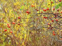 Red ripe hips berries in autumn, Lithuania Stock Images