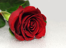 Beautiful red rose. With water drops Stock Images