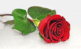Beautiful red rose. With water drops Royalty Free Stock Image