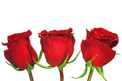 Beautiful red rose. 3 beautiful red roses on white background Royalty Free Stock Images