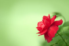 Beautiful red rose. On green background in the corner. Copyspace Royalty Free Stock Photos
