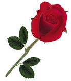Beautiful red rose. Royalty Free Stock Images