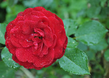 Beautiful red rose. Dark red rose after rain Royalty Free Stock Photo