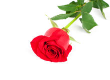 Beautiful red rose Stock Image
