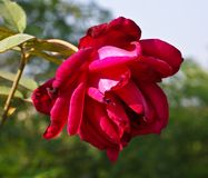 A beautiful red rose Royalty Free Stock Images