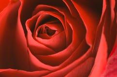 Beautiful red rose Royalty Free Stock Photos