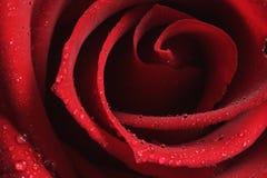 Beautiful red rose. Valentine close red rose dew love romance Stock Photos
