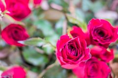 Beautiful Red rose as a natural in the garden.  Royalty Free Stock Image