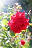 Beautiful red rose with back light royalty free stock photos