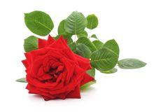 Beautiful red rose. Royalty Free Stock Photo