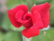 beautiful rose red redrose nature Royalty Free Stock Photography