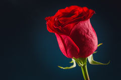 Beautiful red rose. Beautiful red rose on black background Royalty Free Stock Image