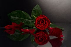 Beautiful red rose on black background Royalty Free Stock Image