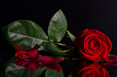 Beautiful red rose on black background Royalty Free Stock Photography