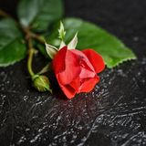Beautiful red rose on a black background. Square photo of beautiful red rose on black background, copy space for text royalty free stock photo