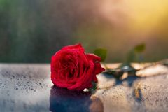 Red Rose With Bright Backlit Sunlight. royalty free stock photography