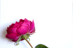 Beautiful red rose and a blank white sheet of paper Stock Photos
