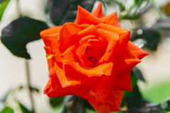 Beautiful red rose blooms Stock Photography