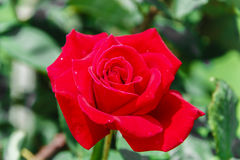 Beautiful red rose blooms Stock Photo