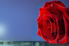 beautiful red rose on a blue background stock images