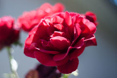 Beautiful red rose on blurred background. Soft focus Stock Photography
