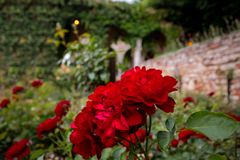 Beautiful red rose. Botanical Garden.  Journey to the reserve of plants. stock image